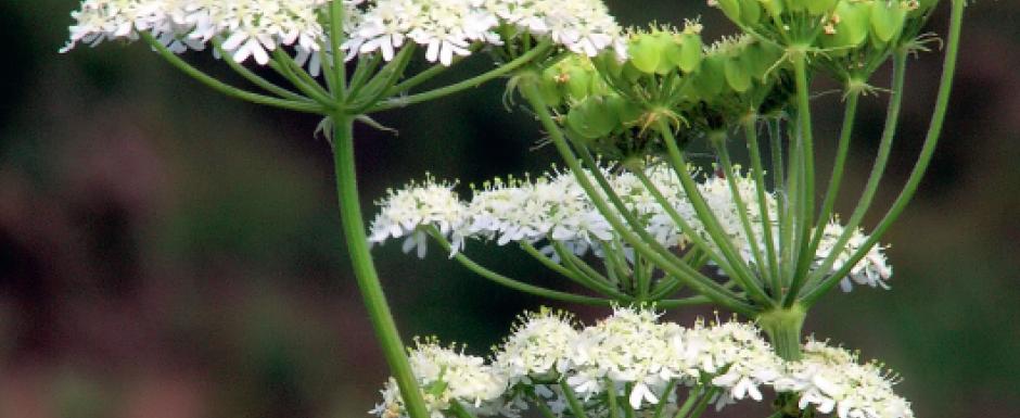L'anis vert, digestif et harmonisant