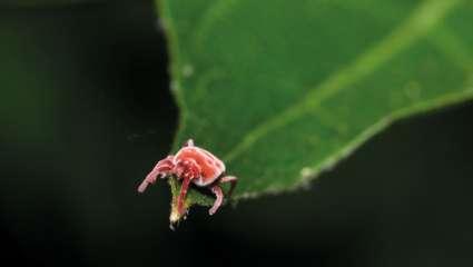 Déjouer la maladie de Lyme avec l'aromathérapie