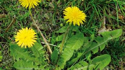 Encyclopédie des plantes et cueillette sauvage : le pissenlit
