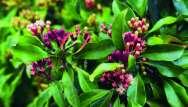 Giroflier (Syzygium aromaticum)